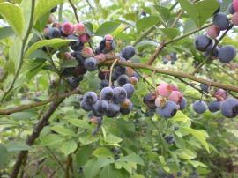 藍莓的照片